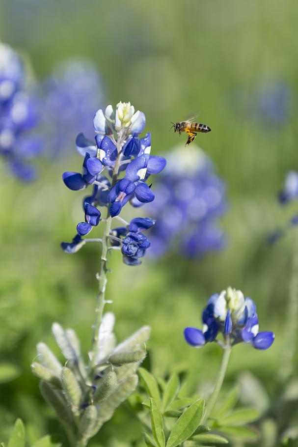 Blue Bonnet Bee, 2018