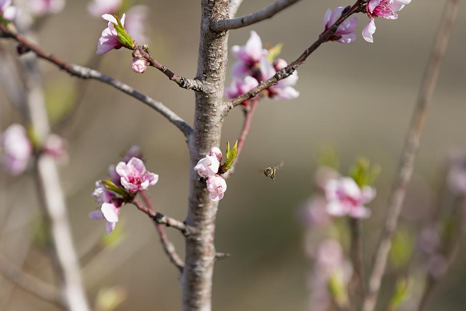 Cherry Blossoms, Johnson City, 2018
