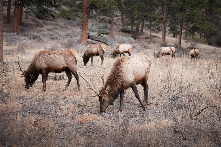 Colorado Elk II, 2017